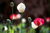 Opium poppy, Papaver somniferum, is the species of plant from which opium and poppy seeds are extracted. Opium is the source of many opiates, including morphine, thebaine, codeine, papaverine, and noscapine.<br/><br/>  The Latin botanical name means the 'sleep-bringing poppy', referring to the sedative properties of some of these opiates.