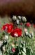 Thailand: Opium poppies (Papaver somniferum), northern Thailand, c. 1995